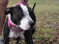 Pit Bull Terrier - Charlott - Medium - Adult - Female -