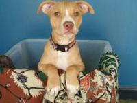 Pit Bull Terrier - Chelsea - Medium - Baby - Female -