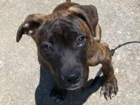 Pit Bull Terrier - Chloe - Large - Baby - Female - Dog
