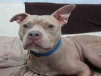 Pit Bull Terrier - Cloud - Medium - Adult - Male - Dog