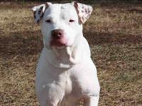 Pit Bull Terrier - Crystal - Medium - Adult - Female -