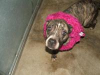 Pit Bull Terrier - Daisy - Medium - Young - Female -