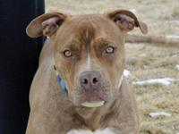 Pit Bull Terrier - Dante - Large - Adult - Male - Dog