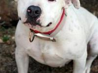 Pit Bull Terrier - Dollie - Large - Adult - Female -