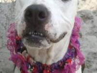 Pit Bull Terrier - Dottie - Medium - Adult - Female -
