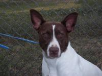Pit Bull Terrier - Duchess - Medium - Young - Female -