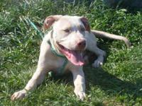Pit Bull Terrier - Emilio - Large - Young - Male - Dog