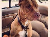 Pit Bull Terrier - Floyd **needs Foster!** - Medium -