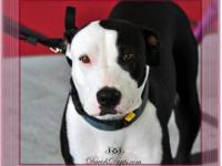 Pit Bull Terrier - Foster Penny - Medium - Young -