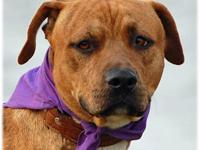 Pit Bull Terrier - Foster Sergio - Medium - Adult -