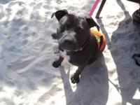 Pit Bull Terrier - Foster Zena - Medium - Young -