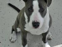 Pit Bull Terrier - Gaby Ny - Large - Young - Female -