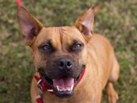 Pit Bull Terrier - Ginger - Large - Young - Female -