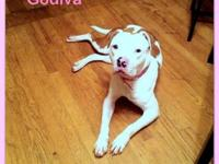 Pit Bull Terrier - Godiva - Medium - Adult - Female -