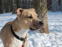 Pit Bull Terrier - Holly(c) - Medium - Young - Female -