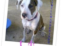 Pit Bull Terrier - Lili - Medium - Young - Female -