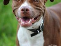 Pit Bull Terrier - Lizzie - Medium - Adult - Female -