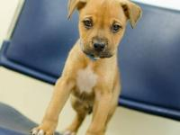 Pit Bull Terrier - Louis - Large - Baby - Male - Dog