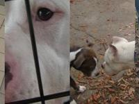 Pit Bull Terrier - Muraco - Medium - Adult - Male -