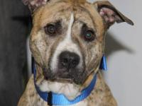 Pit Bull Terrier - Odie (urgent) - Medium - Adult -
