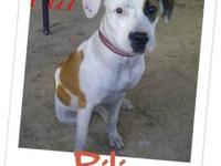 Pit Bull Terrier - Pili - Medium - Young - Female -