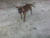 Pit Bull Terrier - Piper - Medium - Young - Female -