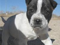 Pit Bull Terrier - Polly - Medium - Baby - Female -