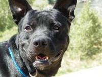 Pit Bull Terrier - Reagan - Medium - Adult - Male -