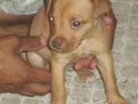 Pit Bull Terrier - Ruby - Medium - Young - Female -