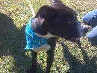 Pit Bull Terrier - Sierra - Medium - Young - Female -