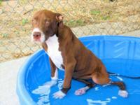 Pit Bull Terrier - Skyy - Medium - Young - Female -