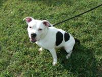 Pit Bull Terrier - Sugar-urgent!!! - Medium - Adult -