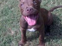 Pit Bull Terrier - Sully - Medium - Baby - Male - Dog