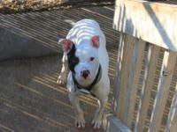 Pit Bull Terrier - Tanner - Large - Young - Male - Dog