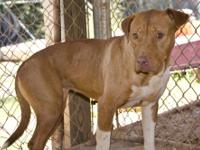 Pit Bull Terrier - Virginia - Large - Adult - Female -