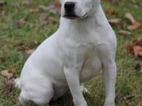 Pit Bull Terrier - Wanda--see Her Video! - Medium -