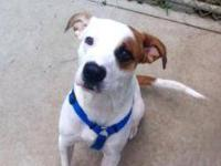 Pit Bull Terrier - Windchester - Medium - Young - Male