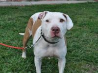 Pit Bull Terrier - Yoshi - Large - Adult - Female -