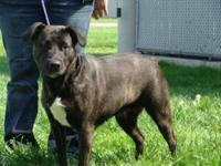Pit Bull Terrier - Zena - Large - Adult - Female - Dog