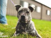 Pit Bull Terrier - Zoe - Large - Young - Female - Dog