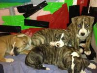 Two female 10 week old brindle pit-bull mix puppies.