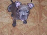 blue nose pitbull pups for sale they come with shots