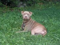 Blue/Red nose pitbull...Bloodline Razor edge and