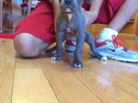 6 pitbull young puppies for sale. They will be 8 weeks