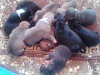 8 tri colored pitbull pups, all come with 1st & 2nd