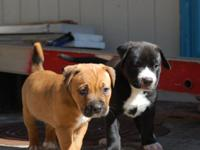 American Pitbull pups, 8 weeks old Brown - Female,