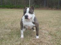 blue&white female ukc 14inches tall 100% razoredge she