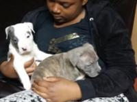 Blue brindles puppies 250.00 boys had first shots and