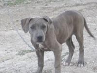 I have a Female Pitbull/Bullmastiff puppy $150. She is
