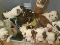 Assorted color blue nose pit bull puppies. Comes with